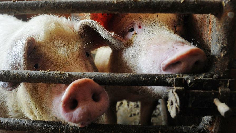 Африканская чума свиней движется на Ульяновскую область, фото-1