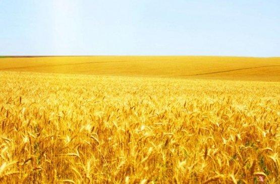 Уборка зерновых культур проходит в Ульяновской области полным ходом, фото-1