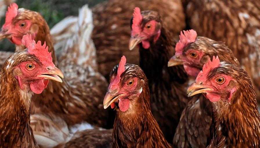 Самым высоким по России стал рост поголовья птицы в Ульяновской области, фото-1