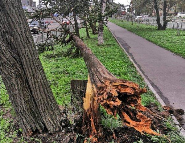 Более полутора сотен аварийных деревьев убрали с территории Ульяновска, фото-1